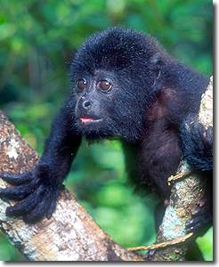 Young Howler monkey at the Community Baboon Sanctuary