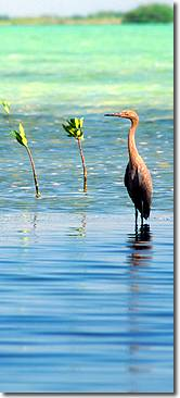Red Egret and mangrove